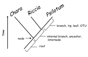 FIGURE 2. Figure 2. A rooted phylogenetic tree, showing relationships among three taxa Chara, Riccia and Psilotum. The tree consists of branches (representing species or lineages) and nodes (points where a branch splits, i.e., speciation events). Branches may be terminal (tip, leaf, OTU) or internal (ancestor, internode); a root is a special branch that serves to indicate the time axis: the root is in the past and the tips are in the present. In this fully resolved, dichotomous tree, Riccia and Psilotum are each others' closest relatives ('sisters'), while Chara is more distantly related to both.